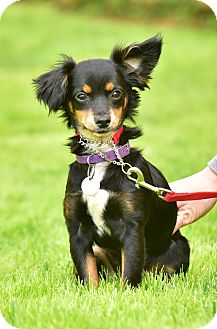 Spaniel (Unknown Type)/Chihuahua Mix Puppy for adoption in Santa Monica, California - Bitsy