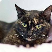 Adopt A Pet :: Stubby - Troy, MI
