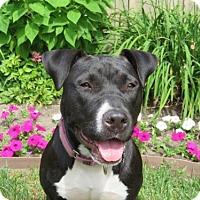 Adopt A Pet :: Claudia Jean-Bp Litter - Livonia, MI