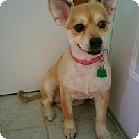 Adopt A Pet :: FOXY LADY - Jackson, NJ