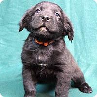 Adopt A Pet :: MR FANTASTIC - Westminster, CO