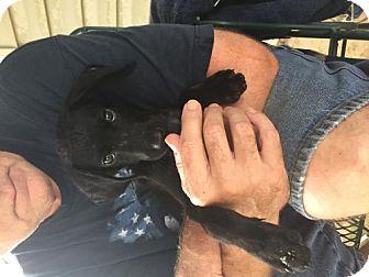 Labrador Retriever/Hound (Unknown Type) Mix Puppy for adoption in Crestview, Florida - Achilles