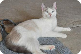 Siamese Cat for adoption in Wagoner, Oklahoma - Shadow