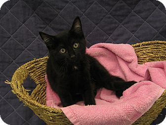 Domestic Shorthair Kitten for adoption in Redwood Falls, Minnesota - Diamond
