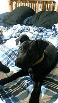 American Pit Bull Terrier Puppy for adoption in Des Moines, Iowa - Jeckyll