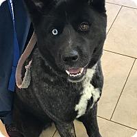Akita/Siberian Husky Mix Dog for adoption in Los Alamitos, California - Miso