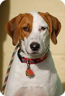 Coonhound Dog for adoption in Pottsville, Pennsylvania - Gunner