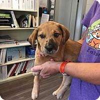 Adopt A Pet :: Izzy - Paducah, KY