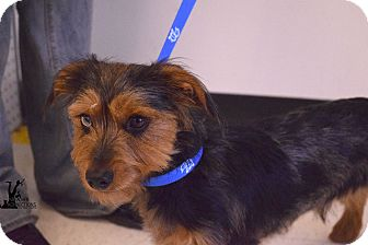Yorkie, Yorkshire Terrier/Dachshund Mix Dog for adoption in Flushing, Michigan - Ace
