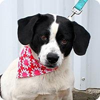 Adopt A Pet :: Precious  meet me 12/2 - Manchester, CT