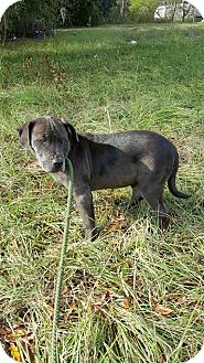 hammond la   labrador retriever mixed breed medium mix