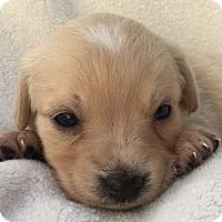 Adopt A Pet :: Zara - La Costa, CA