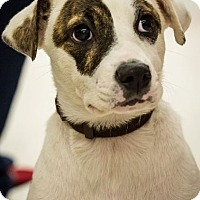 Adopt A Pet :: Holly - Hillside, IL