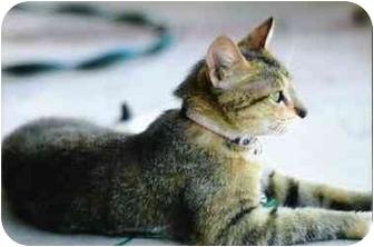 Abyssinian Cat for adoption in Brea, California - Mimi