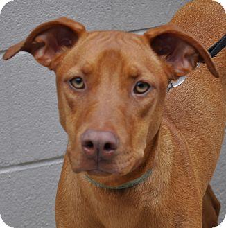 Vizsla Mix Dog Vicky adopted dog atlanta, ga vizsla /pharaoh hound mix