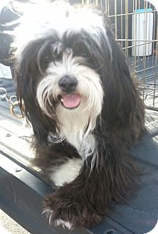Lhasa Apso Mix Dog for adoption in Phoenix, Arizona - Momo