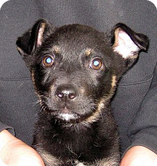 German Shepherd Dog/Labrador Retriever Mix Puppy for adoption in Oakley, California - Baby Baxter