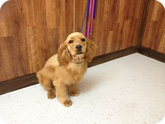 Cocker Spaniel Puppy for adoption in Humboldt, Tennessee - Nelson