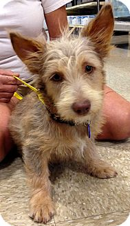Scottie, Scottish Terrier/Norfolk Terrier Mix Dog for adoption in Phoenix, Arizona - Dixie