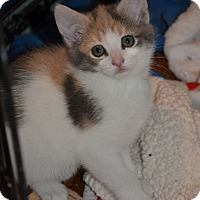 Adopt A Pet :: Jane's Foster Kitten Calico 2 - Island Park, NY