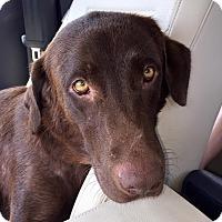 Adopt A Pet :: Coco - Franklin, TN