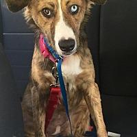 Australian Shepherd Mix Dog for adoption in Long Beach, California - Myla