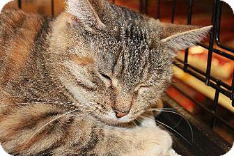 Domestic Shorthair Cat for adoption in Cincinnati, Ohio - Almond Joy