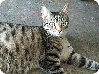 Domestic Shorthair Cat for adoption in Topeka, Kansas - Doodle