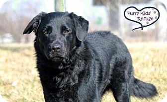 Flat-Coated Retriever/Labrador Retriever Mix Dog for adoption in Lee's Summit, Missouri - Tom (Whopper)