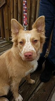 Australian Shepherd/Shepherd (Unknown Type) Mix Dog for adoption in Detroit, Michigan - Freckles