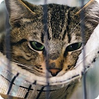 Domestic Shorthair Cat for adoption in Fallbrook, California - Jack