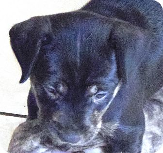 Labrador Retriever/Terrier (Unknown Type, Small) Mix Puppy for adoption in Hollywood, Florida - TIGGER