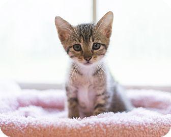 Domestic Shorthair Kitten for adoption in Houston, Texas - Kitten 7