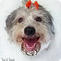 Adopt A Pet :: Bella - Yukon, OK