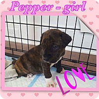 Adopt A Pet :: PEPPER - siler city, NC