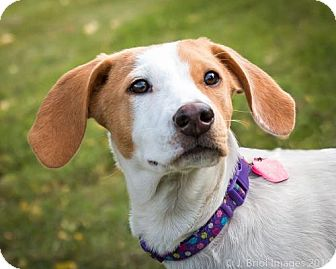Hound (Unknown Type) Mix Puppy for adoption in Shakopee, Minnesota - Dolly D3232