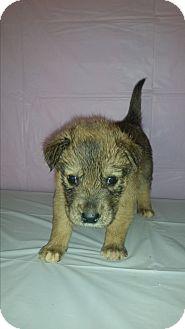 Siberian Husky/Labrador Retriever Mix Puppy for adoption in Baltimore, Maryland - Beau SUPER URGENT