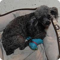 Adopt A Pet :: Sohpie - Matthews, NC