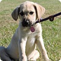 Adopt A Pet :: Shelba - Berkeley Heights, NJ