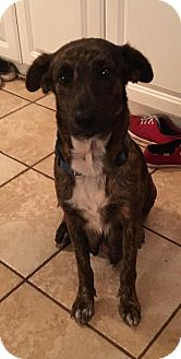 Mountain Cur/Australian Cattle Dog Mix Dog for adoption in Olympia, Washington - Scarlett