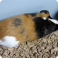 Adopt A Pet :: Penelope - Millersville, MD