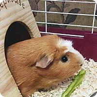 Guinea Pig for adoption in Pasco, Washington - Ralph