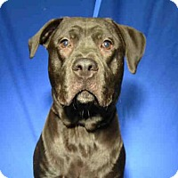 Pit Bull Terrier Mix Dog for adoption in Ocala, Florida - *THOR