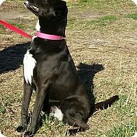 Adopt A Pet :: Maddie- Labrador 2 yrs - Gaffney, SC