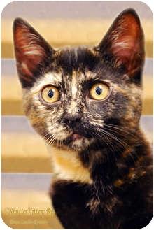 Domestic Shorthair Kitten for adoption in Encinitas, California - Chocolate