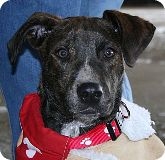 Boxer/Labrador Retriever Mix Dog for adoption in North Olmsted, Ohio - Trevor