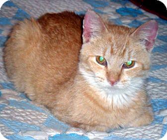 Domestic Shorthair Cat for adoption in Kalamazoo, Michigan - Angel
