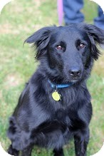 Flat-Coated Retriever Mix Dog for adoption in Tinton Falls, New Jersey - Felix