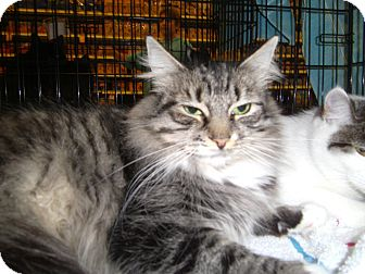 Domestic Shorthair Cat for adoption in Reston, Virginia - Brandy