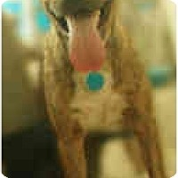 American Pit Bull Terrier Mix Dog for adoption in Bakersfield, California - Thumper  ADOPTED